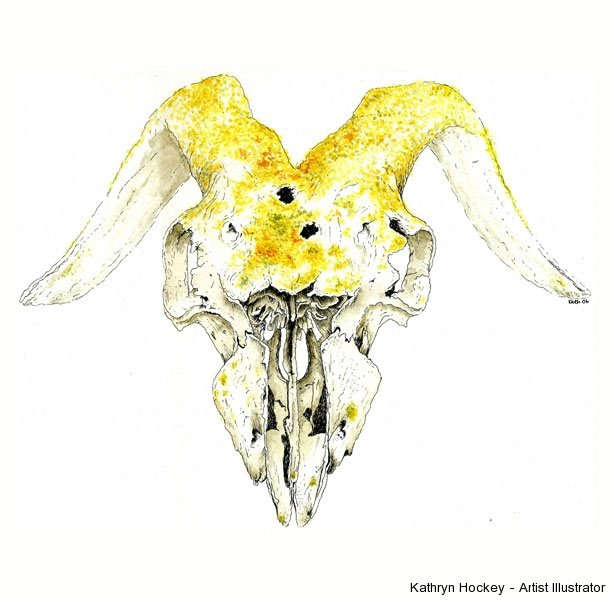 goat skull-kathryn hockey artist illustrator