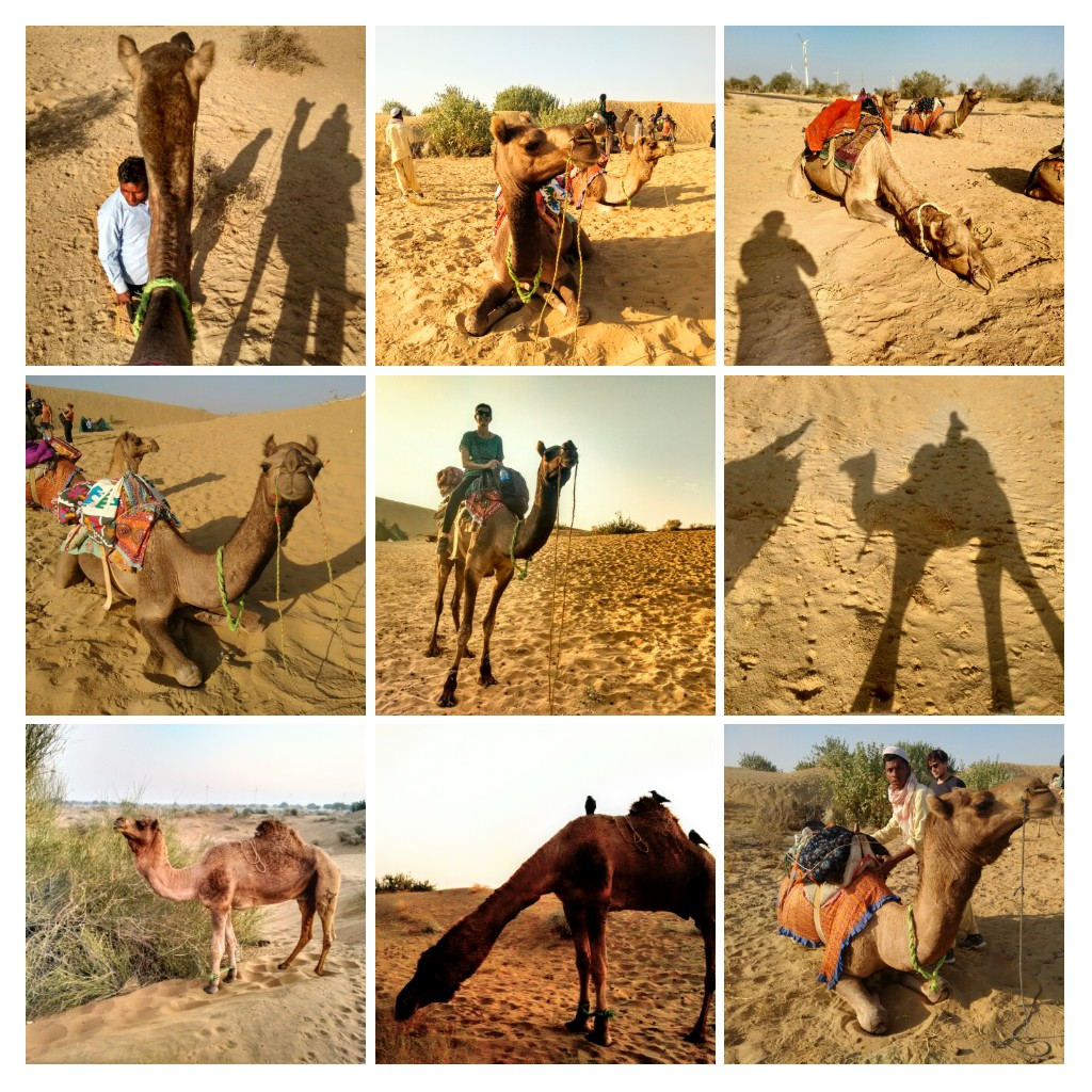 camel, camels, desert, dunes, safari, desert safari, Jaisalmar, wonbin safari hostel, rajasthan, India, travel, adventure, camping, sand, trek