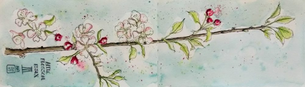 apple blossom, flowers, springtime, essex, pen and wash, watercolour, watercolor, painting, drawing, sketchbook, illustration, leaves